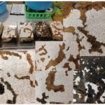 オオクワガタのブリードを研究中。菌床に地図が出現!?