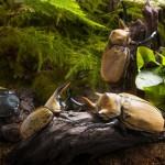 【中央アメリカの森】クワカブジオラマ写真コンテスト:エントリーNO18