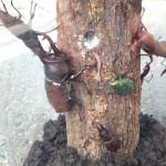 【樹液を巡る戦い】クワカブジオラマ写真コンテスト:エントリーNO13