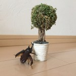 【カブトムシの巨大化】クワカブジオラマ写真コンテスト:エントリーNO4